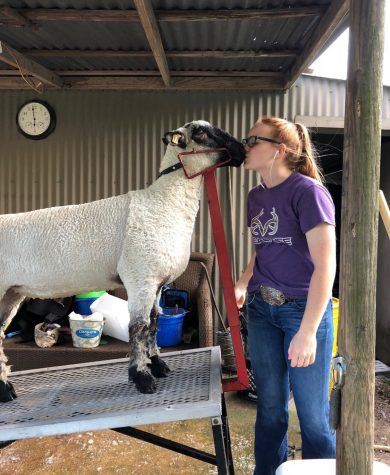 After months of preparation, junior Danae Lesner will not be able to show her lamb at MCF.